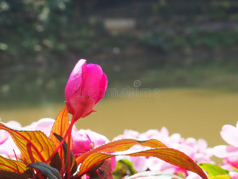 A deep pink flower photo have orange and brown foliage. It is flower in the garden. Flower`s backside is pond. A photo took in Chiang Rai Province, Thailand royalty free stock photo