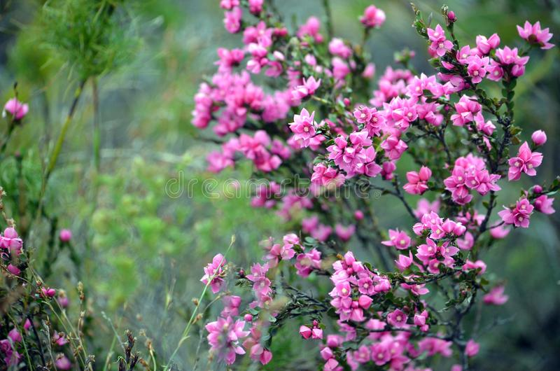 Australian Native Rose, Boronia serrulata. Deep pink flowers of the Australian Native Rose, Boronia serrulata, family Rutaceae, Royal National Park, Sydney, NSW royalty free stock image
