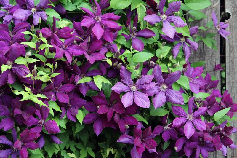Deep Purple Clematis Climbing Flower Vine, Many Blossoms. With a Rustic Fence in the Background, Stunningly Beautiful stock images