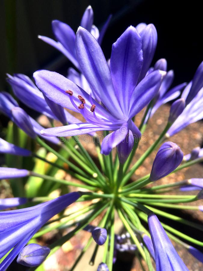 The deep purple colour of an agapanthus flower stock images