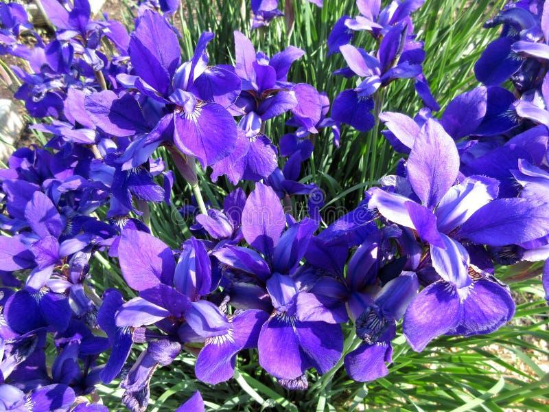 Deep Purple Iris Flowers a maggio immagine stock