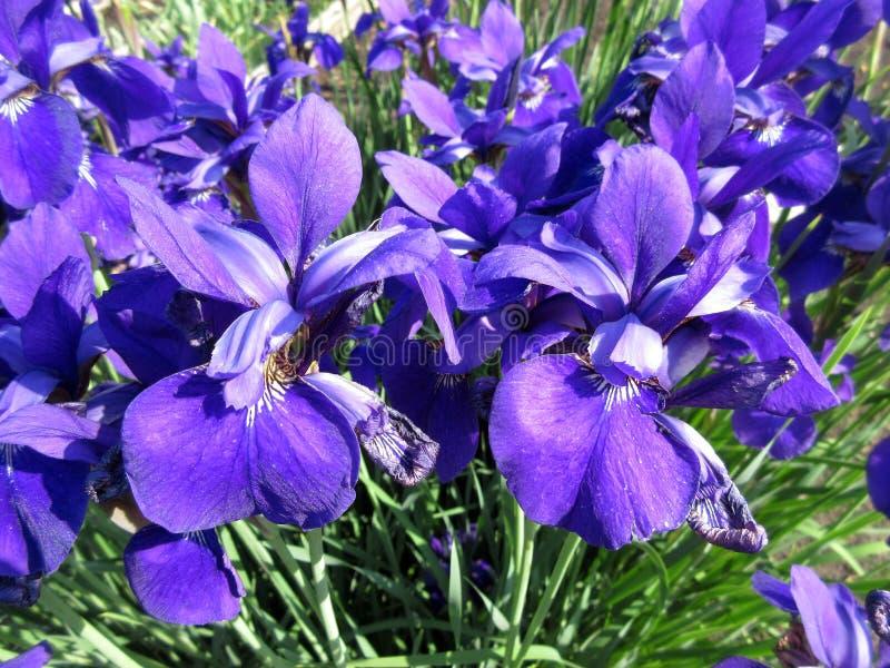 Deep Purple Iris Flowers Pair in primavera immagine stock libera da diritti
