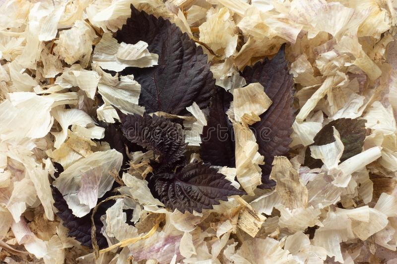 Deep purple leaves on dried husks. Close up natural still life in contrast colors. Macro of organic elements composition as a royalty free stock photo