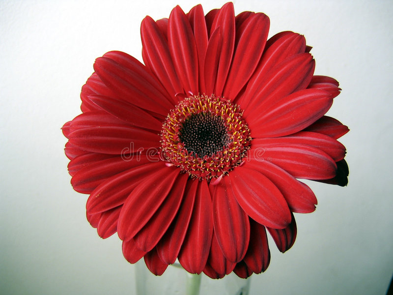 Deep Red Gerbera Flower Top View Close up on Green Background royalty free stock photo