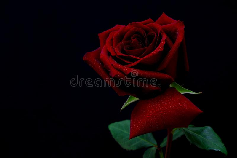 Deep red rose with dew drops on petals. Close up of a beautiful deep red rose with dew drops on petals stock photos