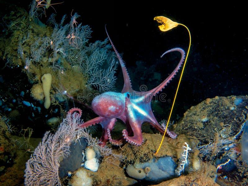 Deep-sea octopus in his own garden. Deep-sea octopus Moosoctopus profundorum in his own garden with stalk lilies Ptilocrinus pinnatus Russia, Bering Sea, Piip royalty free stock image