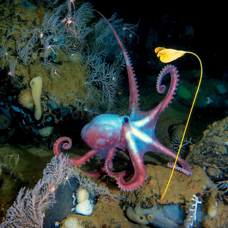 Deep-sea octopus in his own garden. Deep-sea octopus Moosoctopus profundorum in his own garden with stalk lilies Ptilocrinus pinnatus Russia, Bering Sea, Piip stock photo