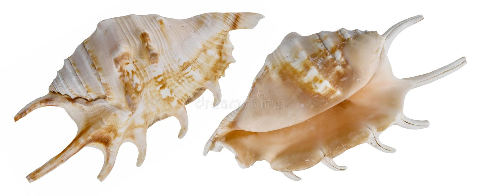 Deep sea shell isolated. From different sides royalty free stock photography