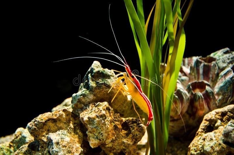 Deep sea shrimp. In aquarium, Bangkok, Thailand royalty free stock photos
