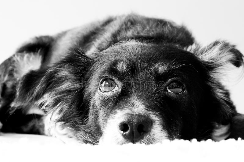 Download In Deep Thought stock image. Image of focus, collie, undistracted - 24847035