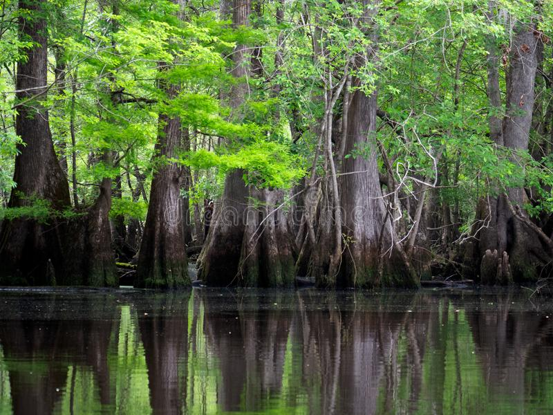 Deep in the Three Sisters Swamp. The Three Sisters Swamp, home of the oldest recorded bald cypress trees in the world, is tucked away off of the Black River in stock photos