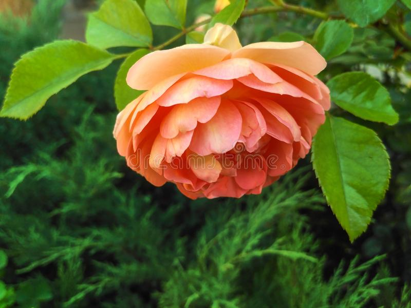 Coppery-pink rose named Pat Austin stock photography