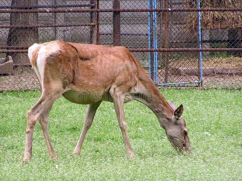 Deer Free Stock Photo