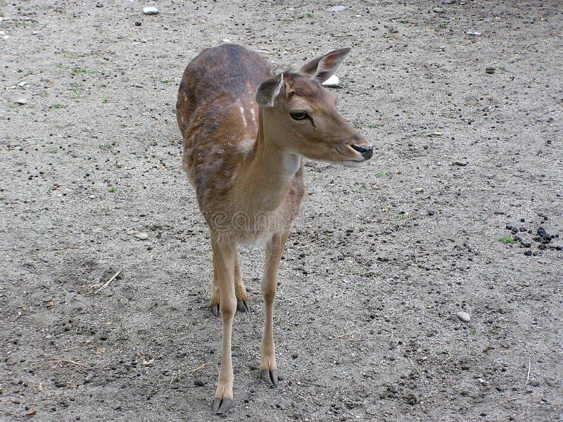 Deer Free Stock Photography