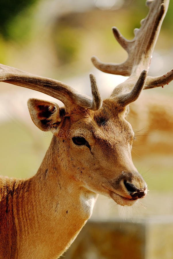 A deer royalty free stock photo