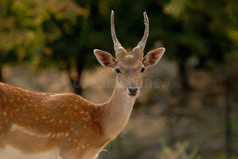 A deer stock photo
