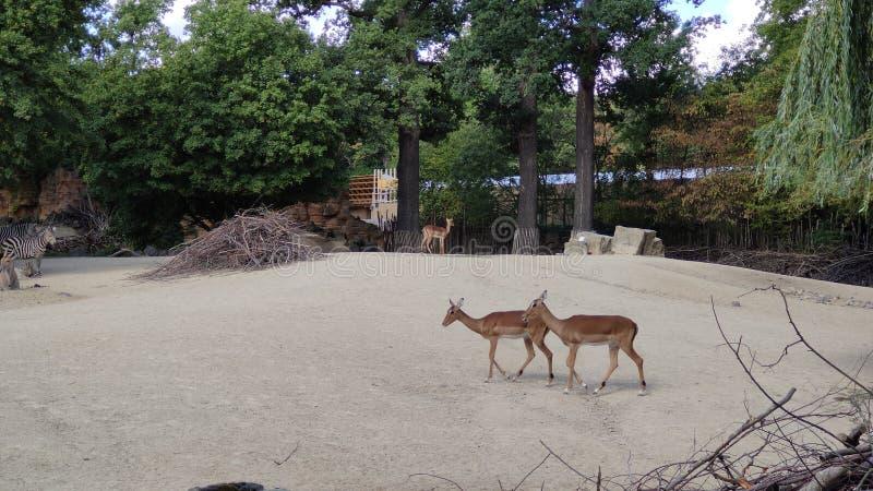 Deer photographie stock libre de droits
