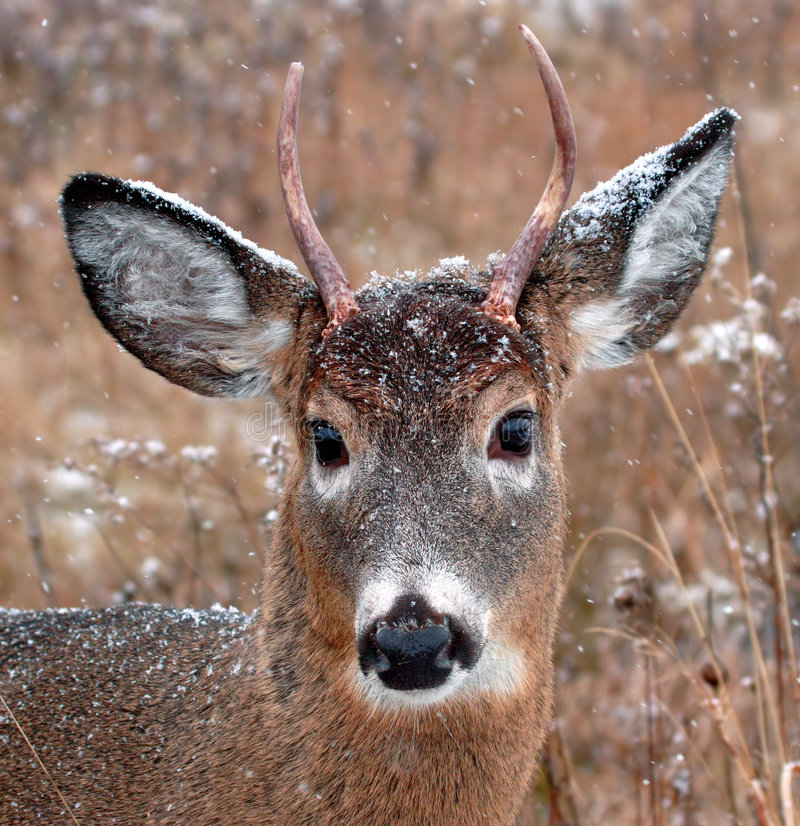 Download Deer stock photo. Image of natural, beauty, adorable, outdoor - 1630284