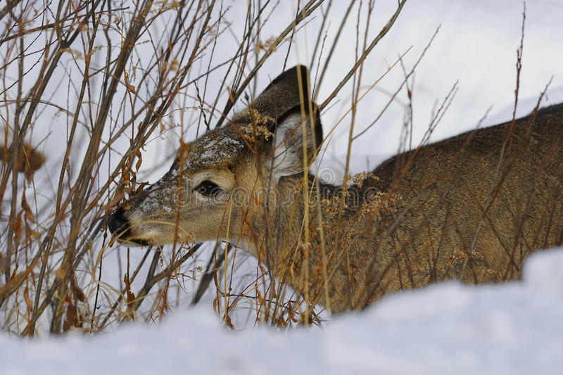 Download Deer 1c stock photo. Image of wildlife, winter, hungry - 12110610