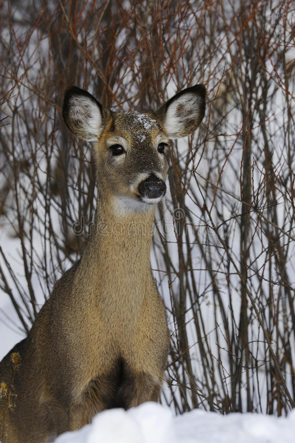 Download Deer 1d Stock Photo - Image: 12110620