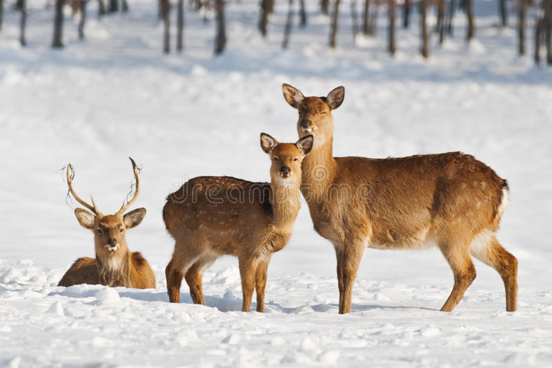 Download Deer stock photo. Image of winter, majestic, mammal, stag - 24651542