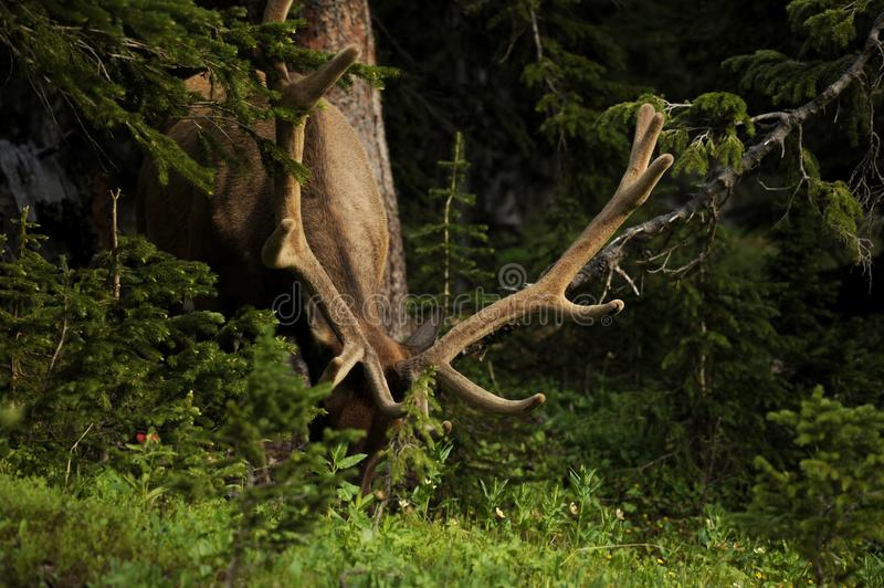 Download The Deer stock image. Image of trees, forest, animal - 25960257