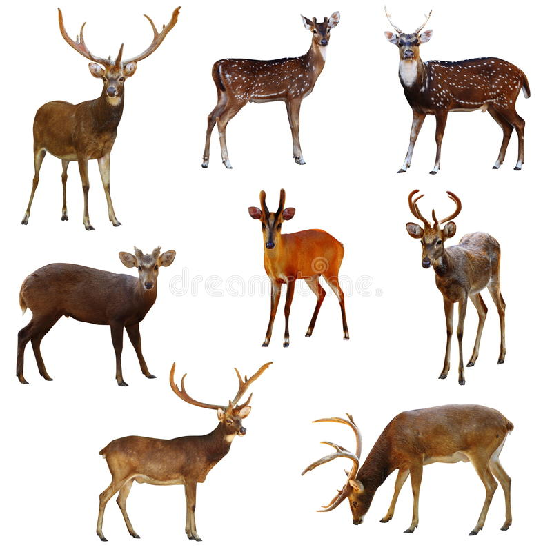 Free Deer. Royalty Free Stock Images - 27983319