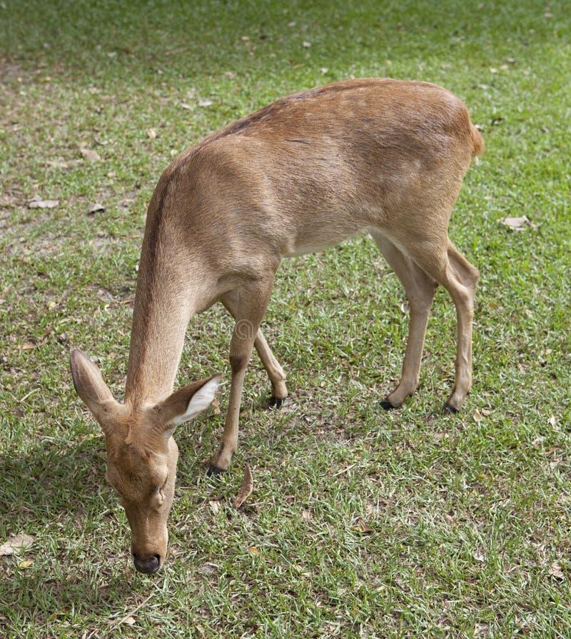 Download Deer stock photo. Image of eldii, vigilant, head, aware - 28024228