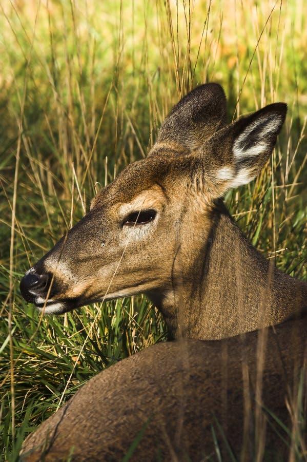 Free Deer Royalty Free Stock Images - 3438579