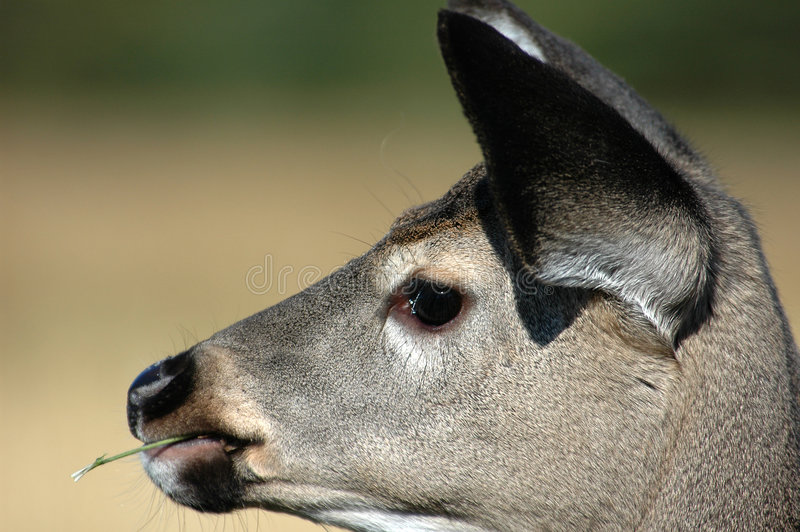 Download Deer stock photo. Image of closeup, grass, chew, close - 451822