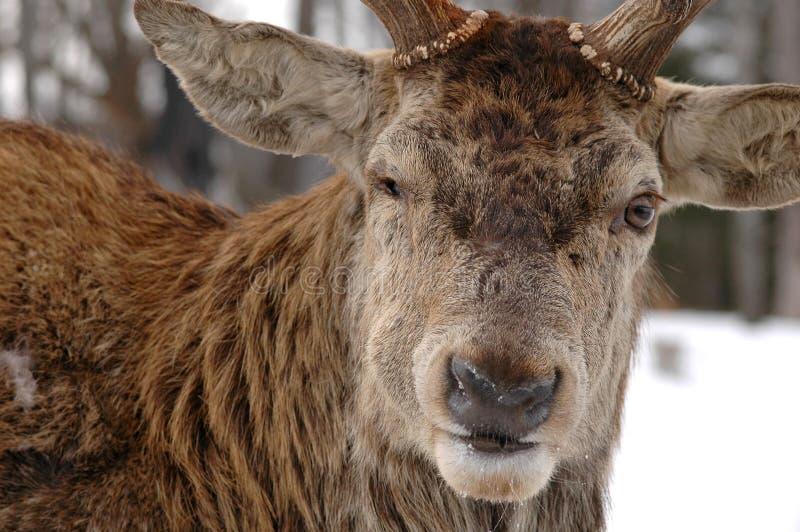 Download Deer stock image. Image of deer, dear, life, predator, mammal - 451827