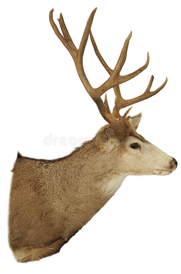 Deer. A picture of a deer head with antlers
