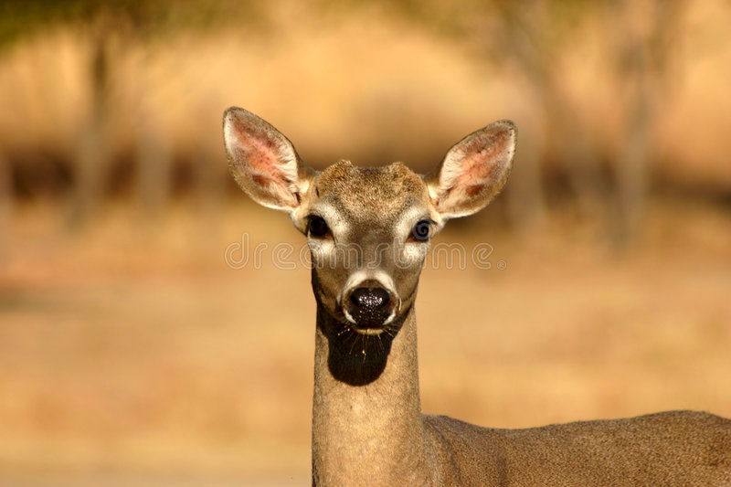 Deer stock photos