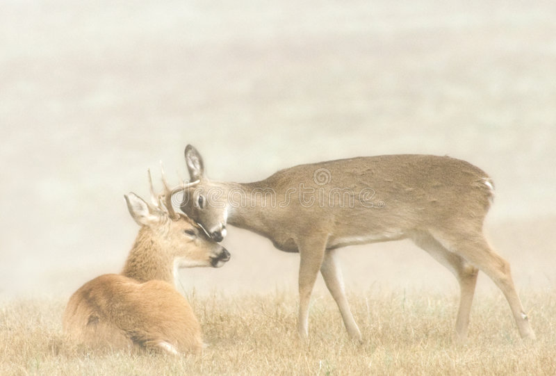 Deer Affection. A whitetail buck and doe showing affection stock photo