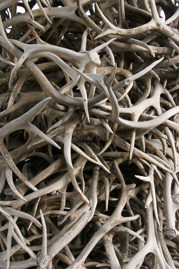 Deer antlers royalty free stock images