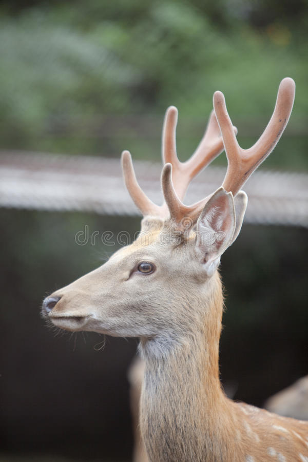 Deer with antlers stock photos
