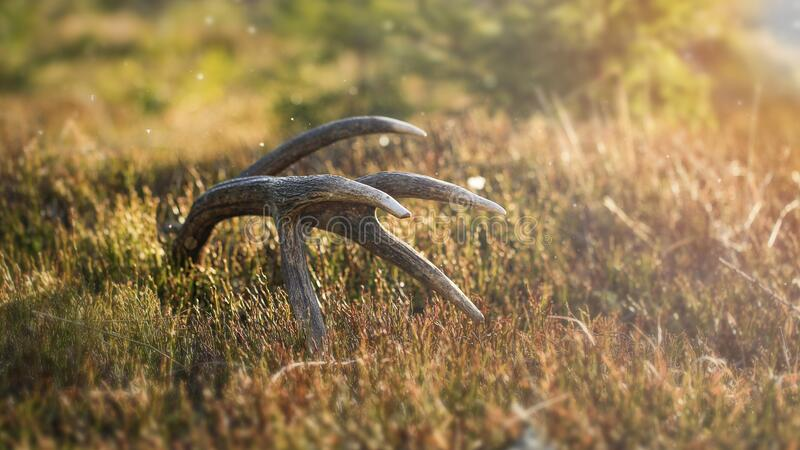 Deer Antlers Cervus Elaphus in the forest at sunset.Animals remain in spring. Rorest, mountains, trophy stock photos