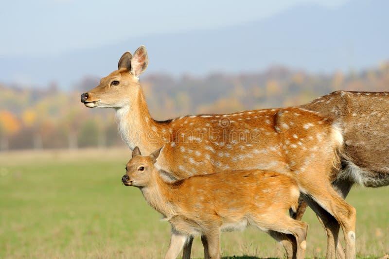 Deer in autumn field stock photography