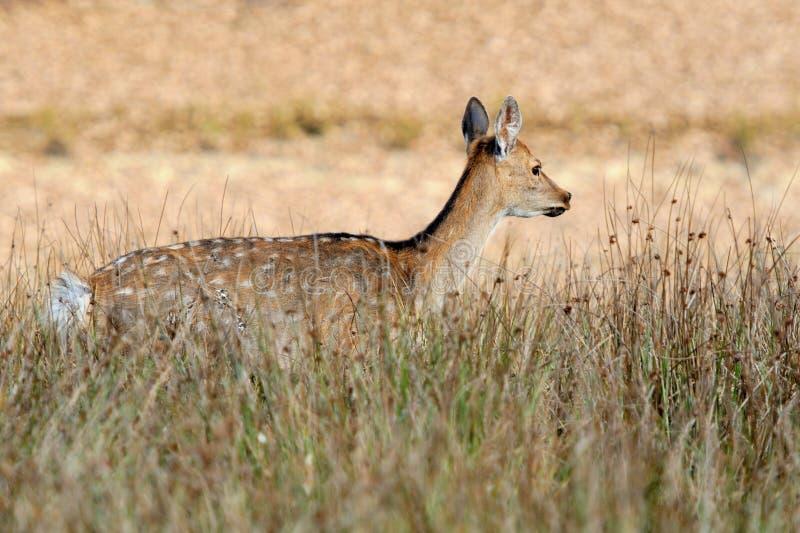 Deer in autumn field stock image