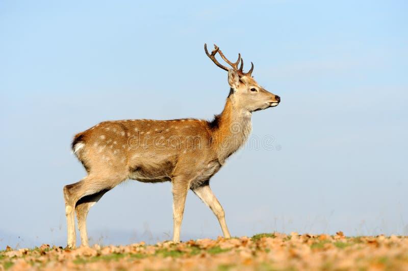 Deer in autumn field stock photo