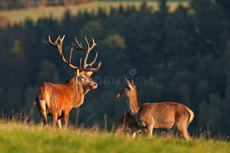 Red deer, cervus elaphus, Czech republic. Deer in autumn. Roar male. Wildlife, life. Trophy male. King of the forest stock images
