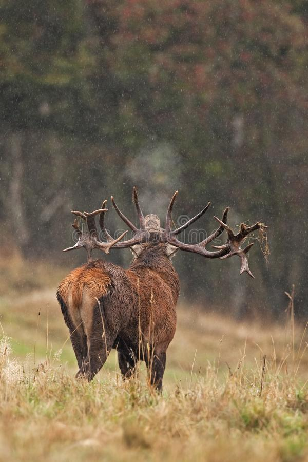 Red deer, cervus elaphus, Czech republic. Deer in autumn. Roar male. Wildlife, life. Trophy male. King of the forest royalty free stock photography