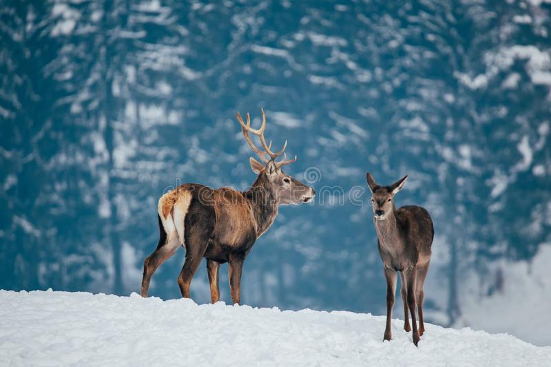 Deer in beautiful winter landscape. With snow and fir trees in the background, animal, animals, antler, arctic, bambi, big, brown, buck, cold, corvus, elk, eye stock photos
