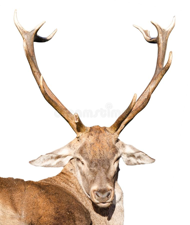 Deer with big antler. Detail on a hunted deer head with big antlers isolated over white stock photo