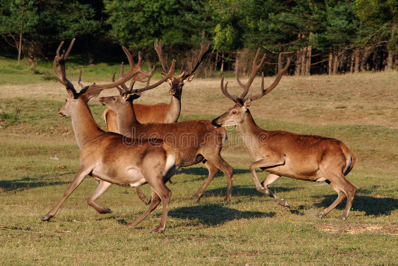 Download Deer with big horns stock image. Image of mammal, green - 13382499