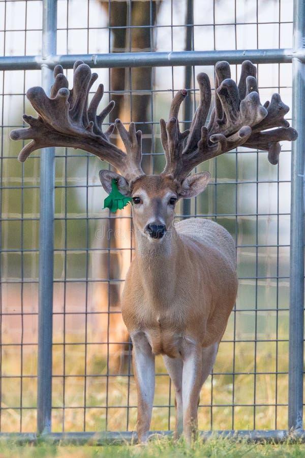 Deer Breeding in Texas stock photo