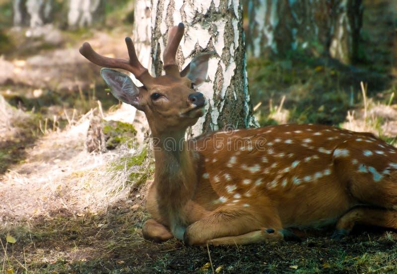 Download Deer buck stock photo. Image of mammal, antlers, meadow - 15856222