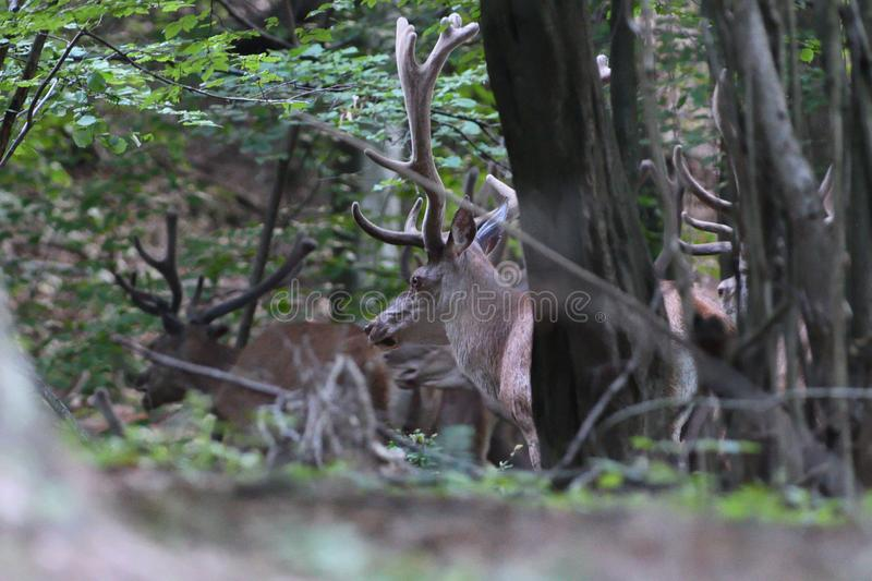 Deer buck with antlers  is walking in dense forest through bushes and branches. Deer stag with growing antlers walking on the meadow and grazing grass royalty free stock image
