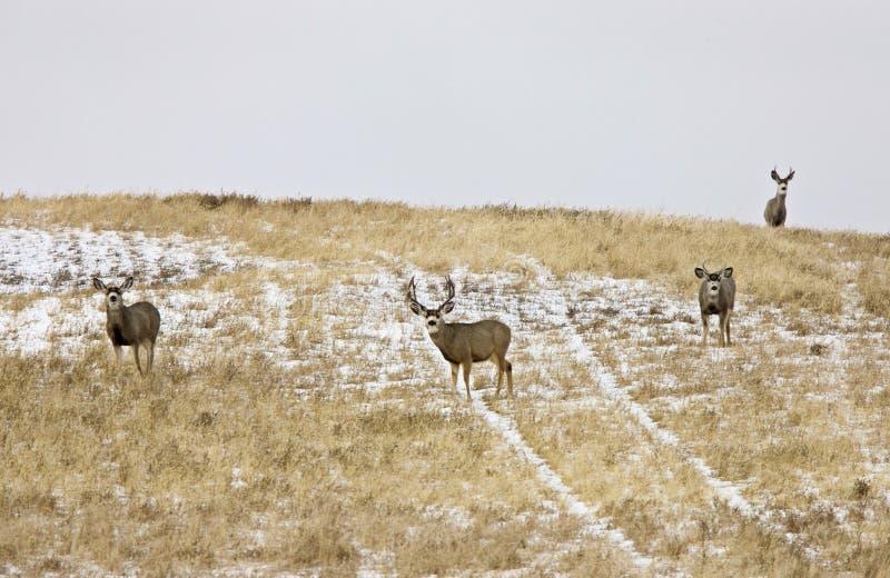 Deer Buck in Winter stock images