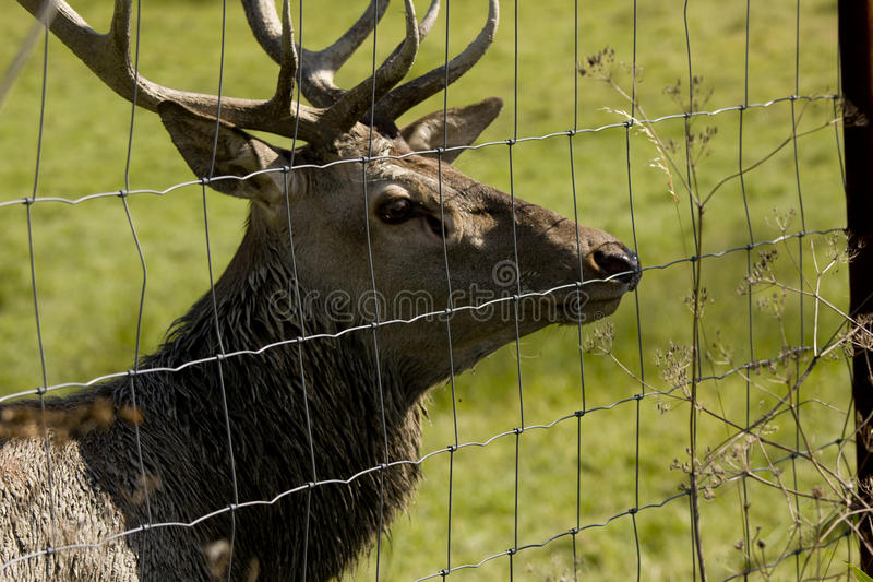 Download Deer In Cage Stock Photo - Image: 21905030